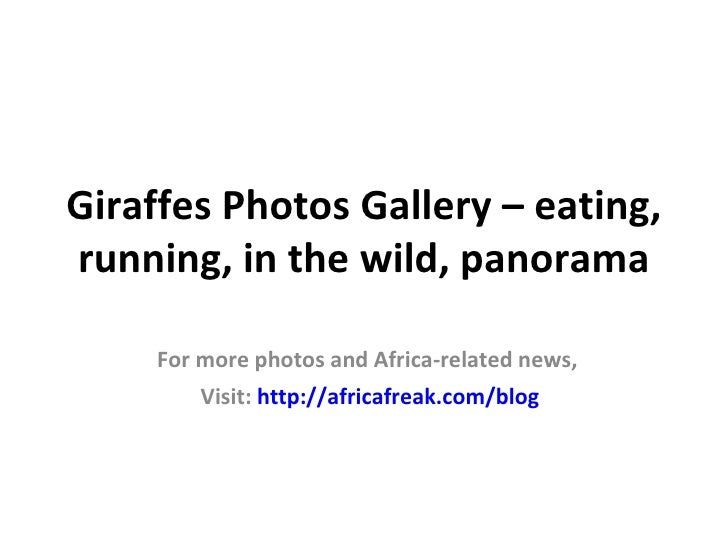 Giraffes Photos Gallery – eating,running, in the wild, panorama     For more photos and Africa-related news,         Visit...