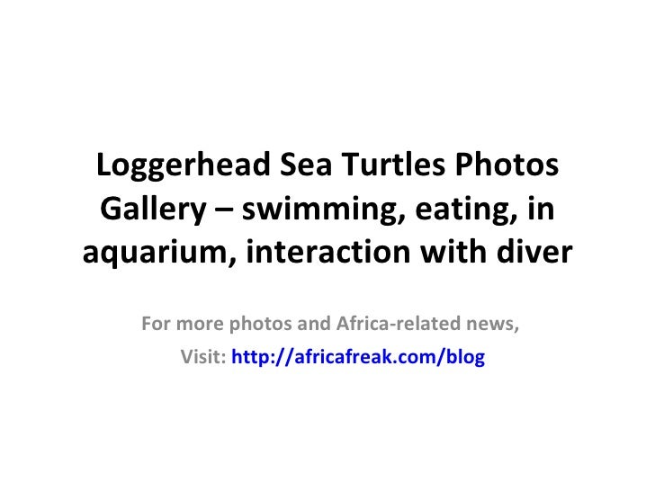 Loggerhead Sea Turtles Photos Gallery – swimming, eating, inaquarium, interaction with diver   For more photos and Africa-...