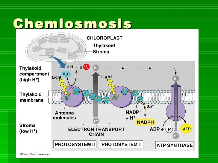 chemiosmosis photosynthesis In photosynthesis, atp is produced via light energy (photophosphorylation) and used to make organic molecules in cell respiration, atp is produced by breaking down organic molecules (oxidative phosphorylation) in both cases, the production of atp involves an electron transport chain and chemiosmosis.