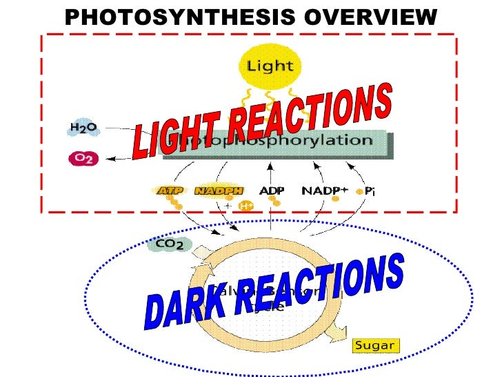 Photosynthesis photosynthesis overview light reactions dark reactions ccuart Image collections