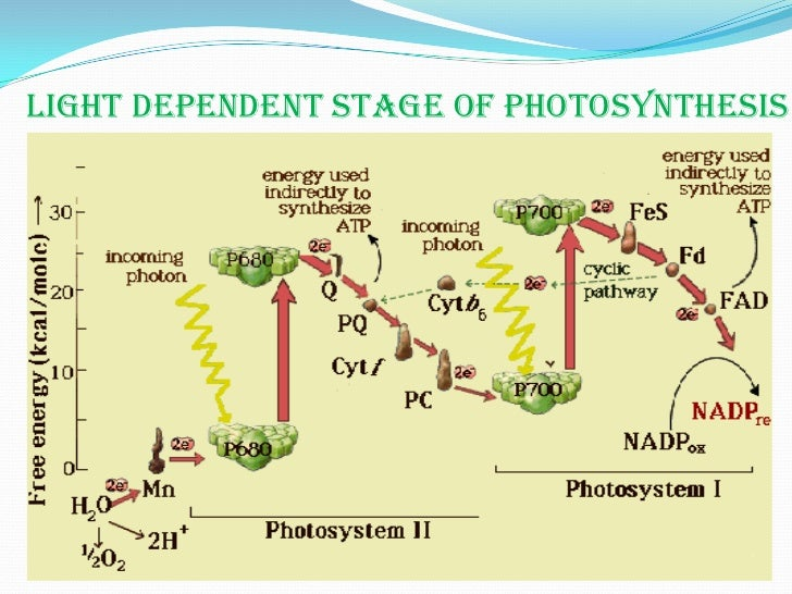 What Happens in the Light Reaction of Photosynthesis?