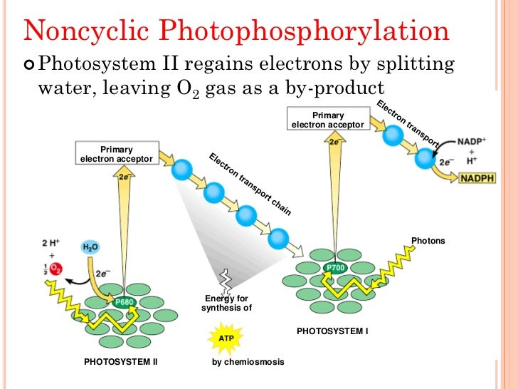 two tpes of photosythesis Photosynthesis occurs in the chloroplasts of algae and higher plants  this transport of an electron between the two types of reaction centers results in the .