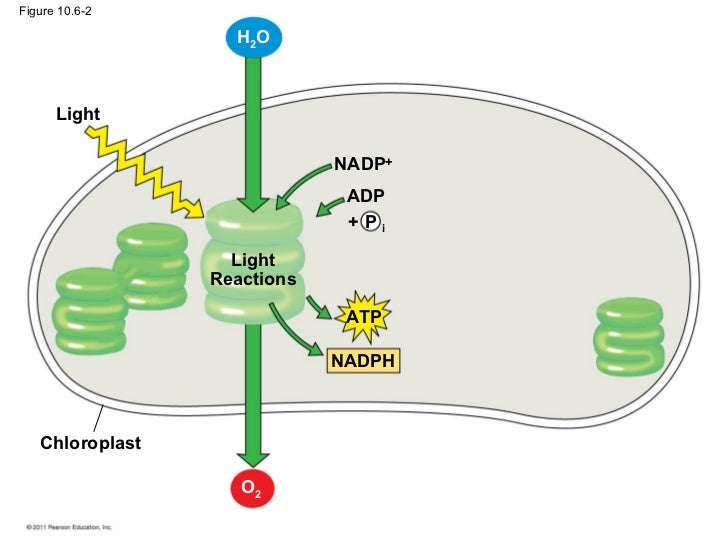 Photosynthesis chloroplast o2 20 ccuart Image collections