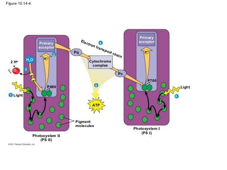 photosystems i and ii summary Photosystem 1 and 2 photosystem i p700, makes nadph, does not take place first photosystem ii one of two light-capturing units in a chloroplast's thylakoid membrane it has two molecules of p680 chlorophyll a at its reaction center photosystems, atp synthase, and an.