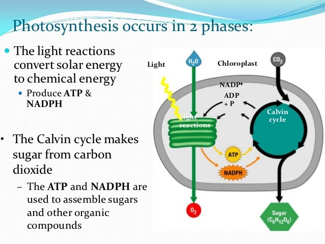 Photosynthesis - Wikipedia