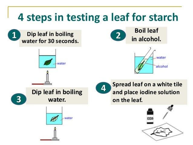 Lab report on starch in leaves