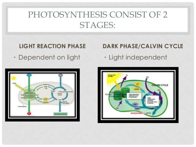 Photosynthesis photosynthesis consist of 2 stages ccuart Gallery