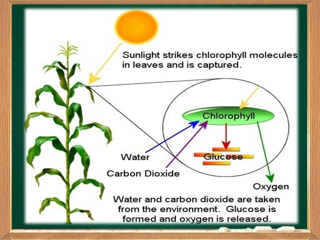 why photosynthesis is important for life Photosynthesis is one of the most efficiently cycled and sustainable processes we know in nature this deceivingly simple process forms the basis for all the energy sources essential to life, from the intake of food to the burning of fossil fuels, and more recently, for the industrial production of value-added.