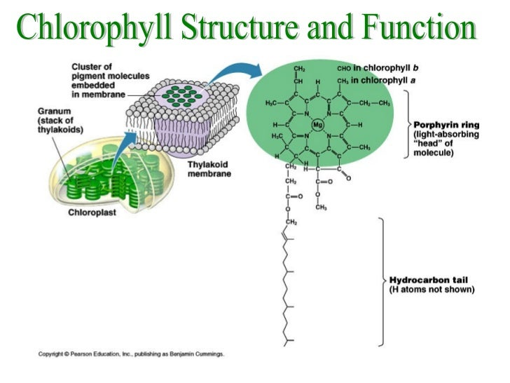 Photosynthesis pigments 19 chlorophyll structure ccuart Images