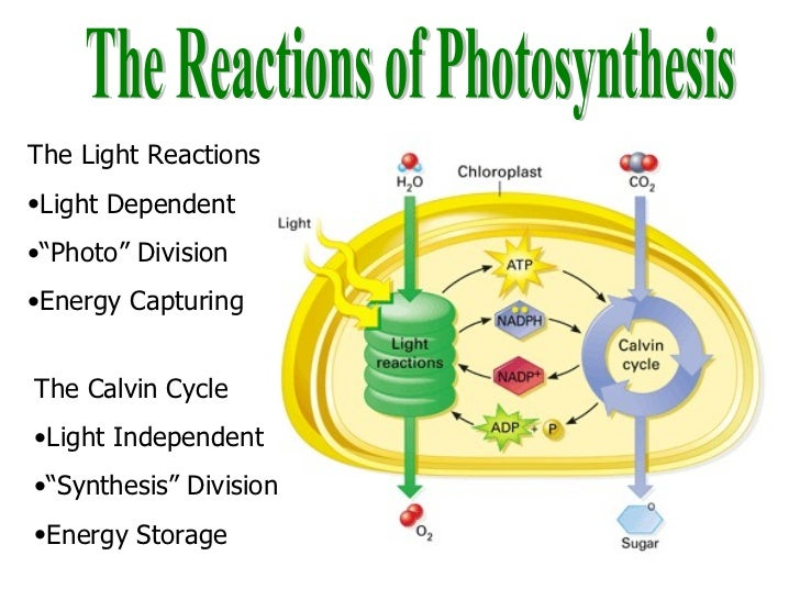 site of photsynthesis