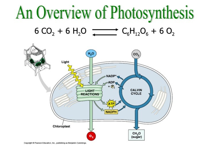 light and photosynthesis The little light that does make it here is enough for the plants of the world to survive and go through the process of photosynthesis light is actually energy, electromagnetic energy to be.