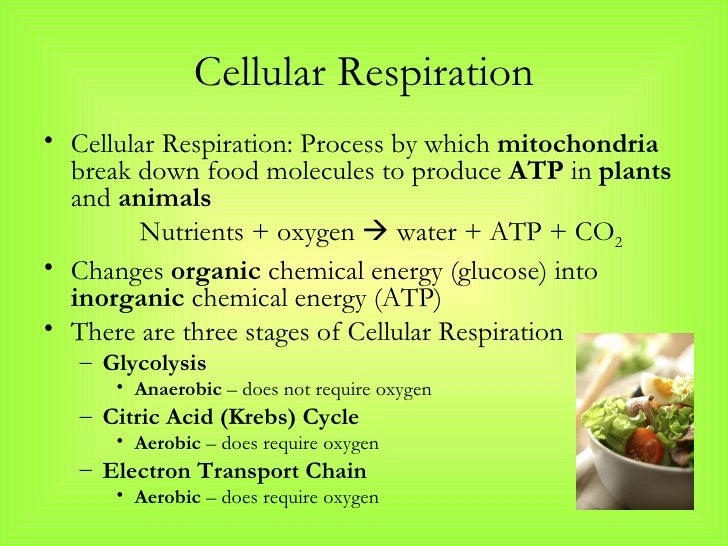 cellular respiration notes Start studying cellular respiration notes learn vocabulary, terms, and more with flashcards, games, and other study tools.