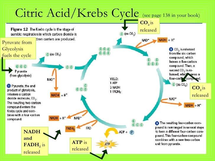 aerobic respiration krebs cycle