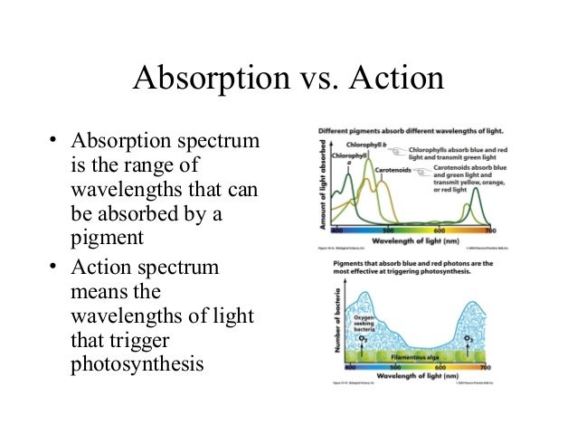 Absorption vs. Action • Absorption spectrum is the range of wavelengths that can be absorbed by a pigment • Action spectru...