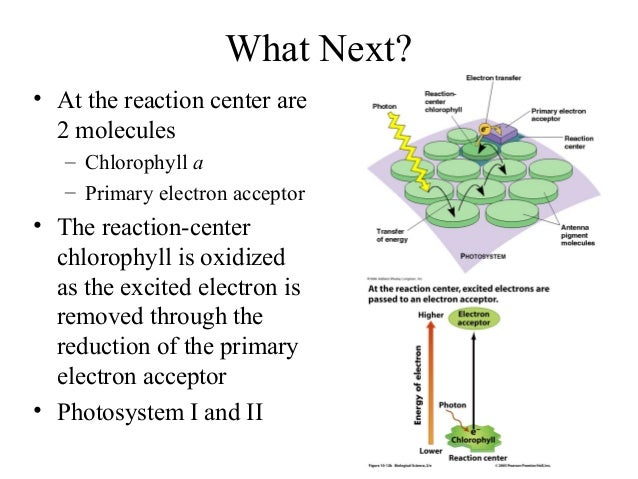 What Next? • At the reaction center are 2 molecules – Chlorophyll a – Primary electron acceptor • The reaction-center chlo...