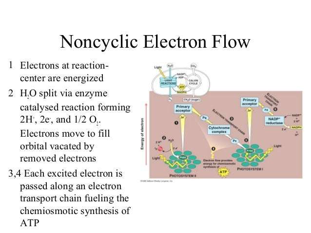 Noncyclic Electron Flow 1 Electrons at reaction- center are energized 2 H2O split via enzyme catalysed reaction forming 2H...
