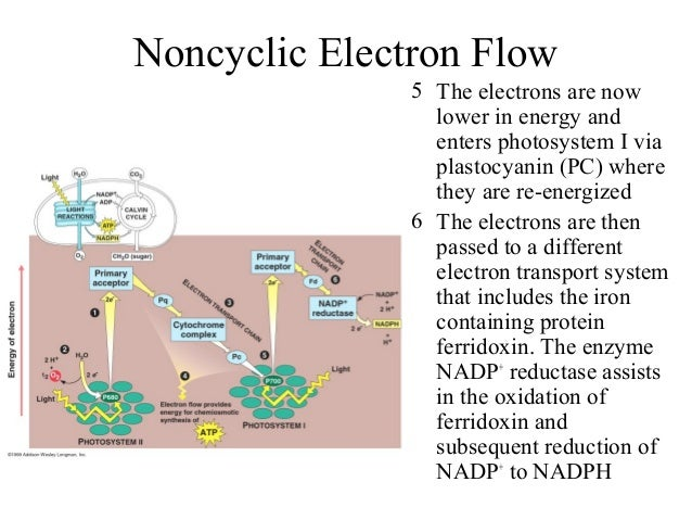 5 The electrons are now lower in energy and enters photosystem I via plastocyanin (PC) where they are re-energized 6 The e...
