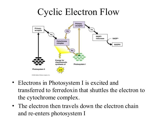 Cyclic Electron Flow • Electrons in Photosystem I is excited and transferred to ferredoxin that shuttles the electron to t...