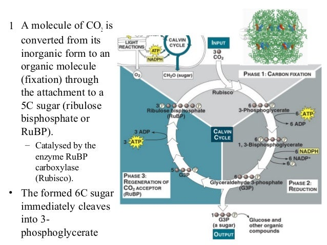 1 A molecule of CO2 is converted from its inorganic form to an organic molecule (fixation) through the attachment to a 5C ...