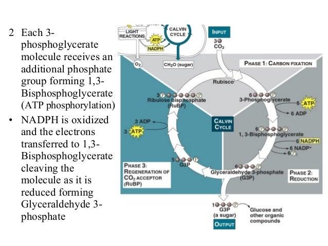 2 Each 3- phosphoglycerate molecule receives an additional phosphate group forming 1,3- Bisphosphoglycerate (ATP phosphory...