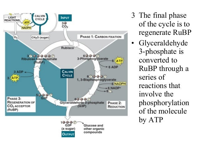 3 The final phase of the cycle is to regenerate RuBP • Glyceraldehyde 3-phosphate is converted to RuBP through a series of...