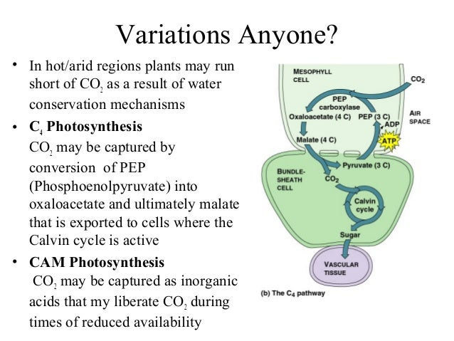 Variations Anyone? • In hot/arid regions plants may run short of CO2 as a result of water conservation mechanisms • C4 Pho...