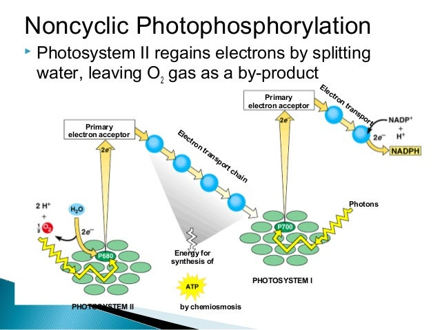 understanding how the electron transport works Start studying ap bio ch 8-10 objectives having a general understanding of the way the photosystems work, how they relate to electron transport.