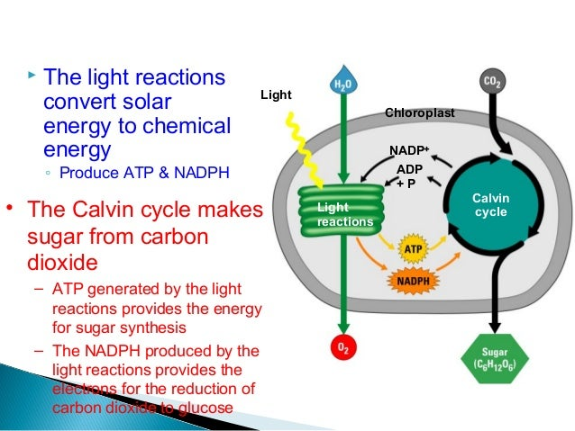 Diagram Of Photosynthesis Process Image collections - How ...