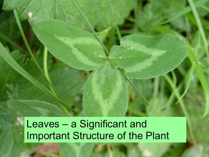 Leaves Structure And Function