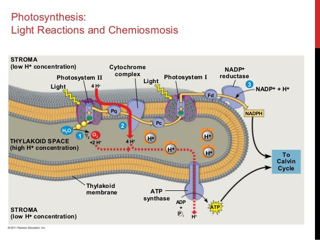 chemiosmosis photosynthesis Mastering biology: section but chemiosmosis also occurs elsewhere and in other variations chloroplasts use chemiosmosis to generate atp during photosynthesis.