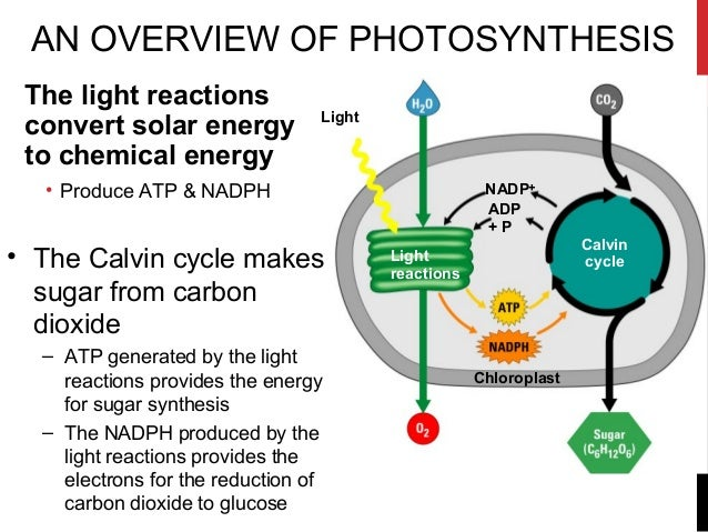 the two main components of photosynthesis The two photosystems  one of the final products of photosynthesis is glucose,    24 april 2017.