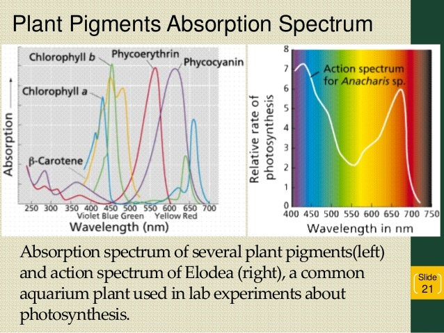 absorption spectrum for leaf pigments The rainbow of light created by a prism is called a spectrum and the colors of light   these other accessory pigments sit in the leaf along with the chlorophyll and.