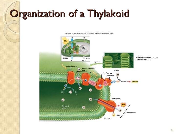 23 Organization Of A Thylakoid