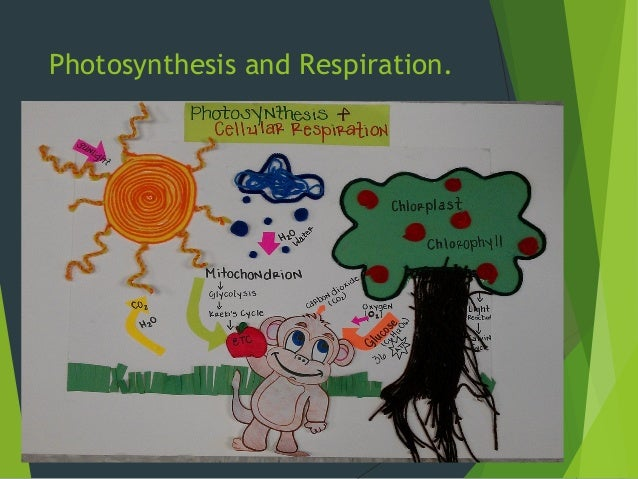 chlorophyll and photosynthesis relationship to respiration