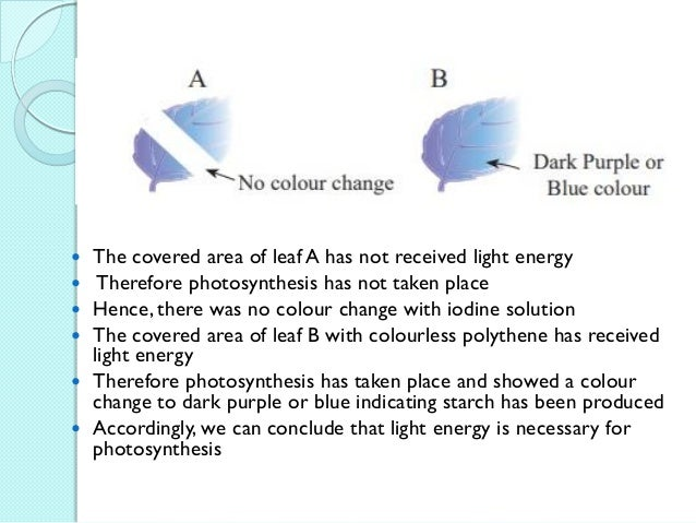  The white colour regions lack chlorophyll, so photosynthesis has not taken place  Therefore starch has not been produce...