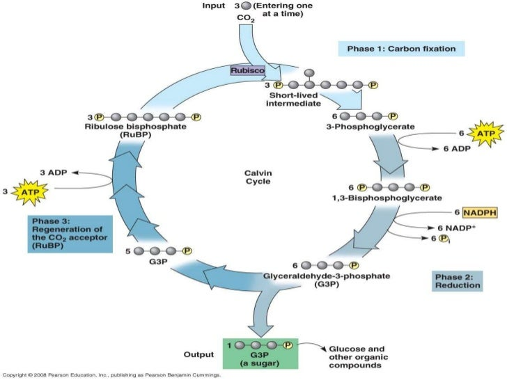 Photosynthesis part 2 c3 c4physically separate c fixation from calvin cycle 24 ccuart Images
