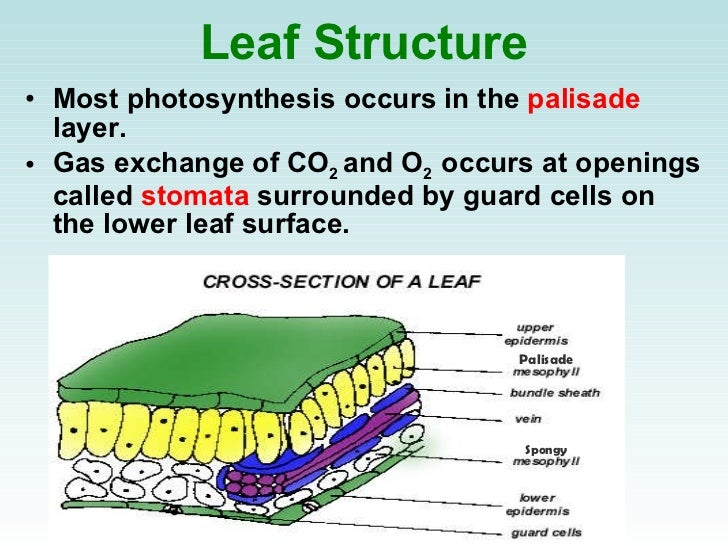 photosynthesis diagram leaf images