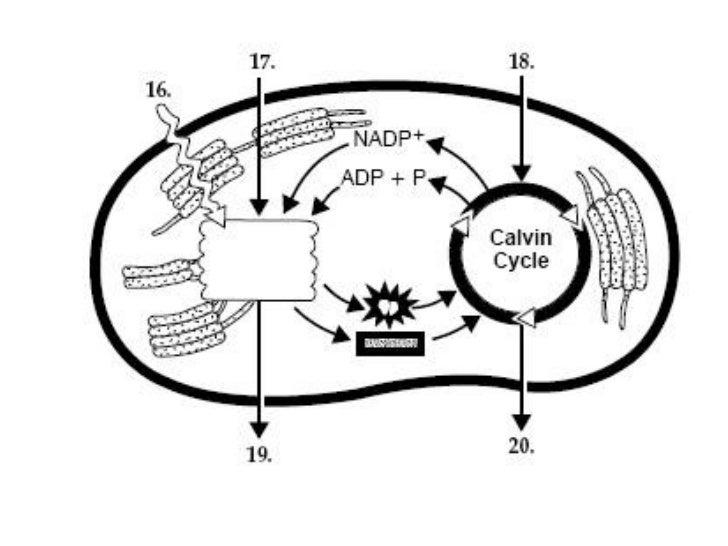 Bio 100 Photosynthesis practice