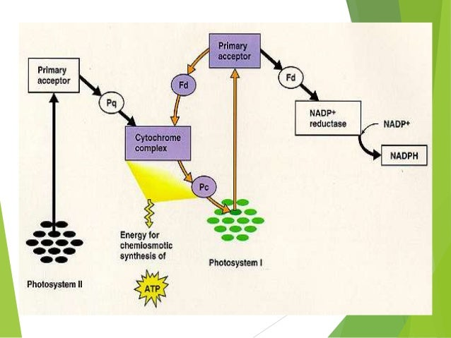 photosynthesis presentation Plants need air, light, warmth, water and nutrients to be healthy if they are healthy, they can continue making their own food through photosynthesis the roots, leaves and the stem of a plant have different functions that help to keep it healthy.