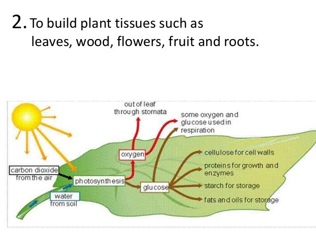 Photosynthesis teach 16 to build plant ccuart