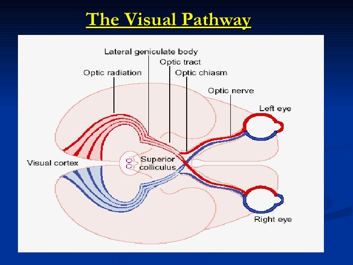 visual pathway Visual pathways 0 introduction we will follow the flow of information about the visual world, picking up at the photoreceptors and finishing in the cortex.