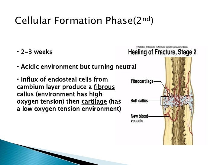 phsiology of fractures, Muscles
