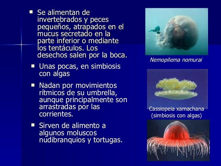 Phyllum cnidarios - Como se alimentan las medusas ...