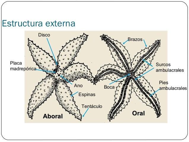 Zoologia Bbs Equinodermos