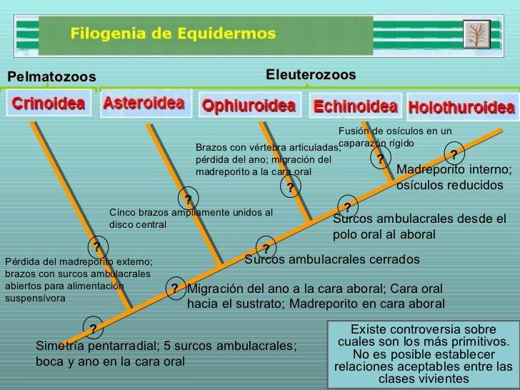FILOGENIA DE EQUINODERMOS PDF