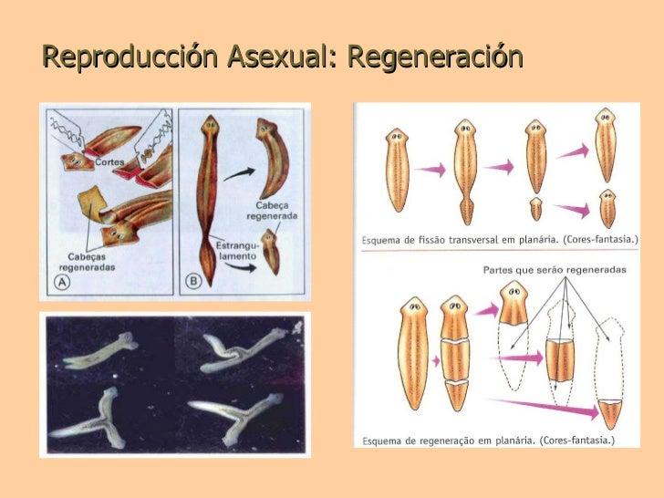 Platelmintos reproduccion asexual en