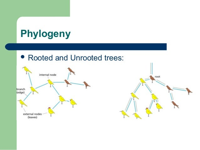 how to draw unrooted phylogenetic tree