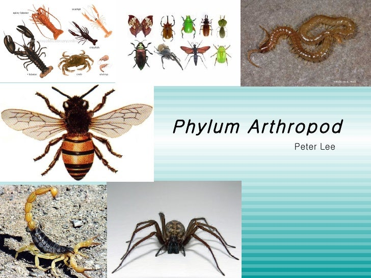 Phylum Arthropod Peter Lee