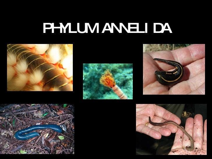 Phylum annelida 2016.