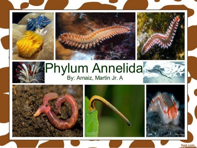 Phylum annelida class polychaeta, class oligochaeta, class hirudinea.